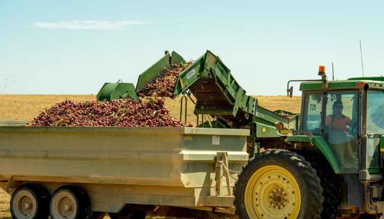onions-the-harvest